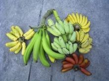 เรื่องกล้วย กล้วย ไม่ใช่30บาทแต่ก็รักษาได้เกือบทุกโรค